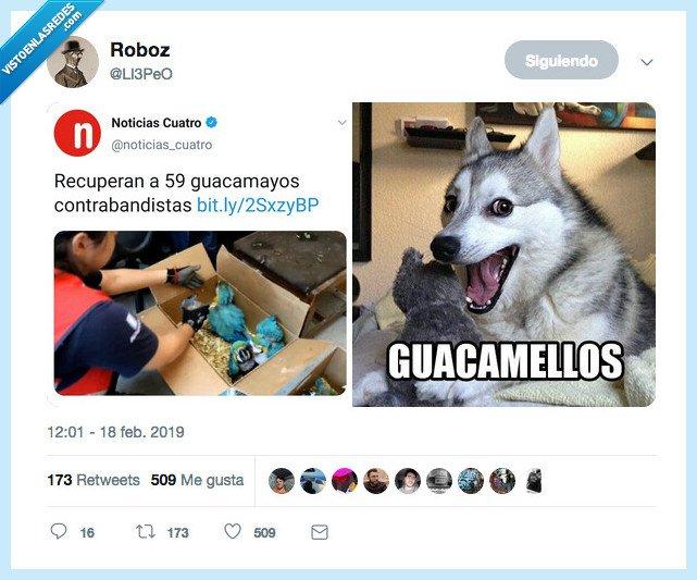 chiste,guacamayo,guacamello
