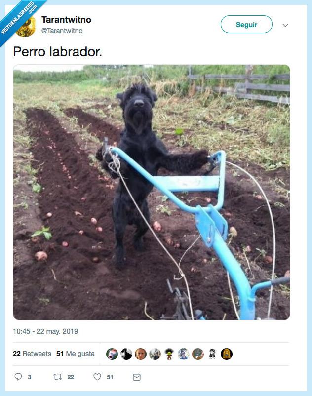 labrador,mordedor,perro