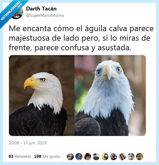águila,calva,confusa,majestuosa