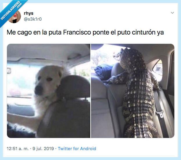 cinturón,cocodrilo,perro