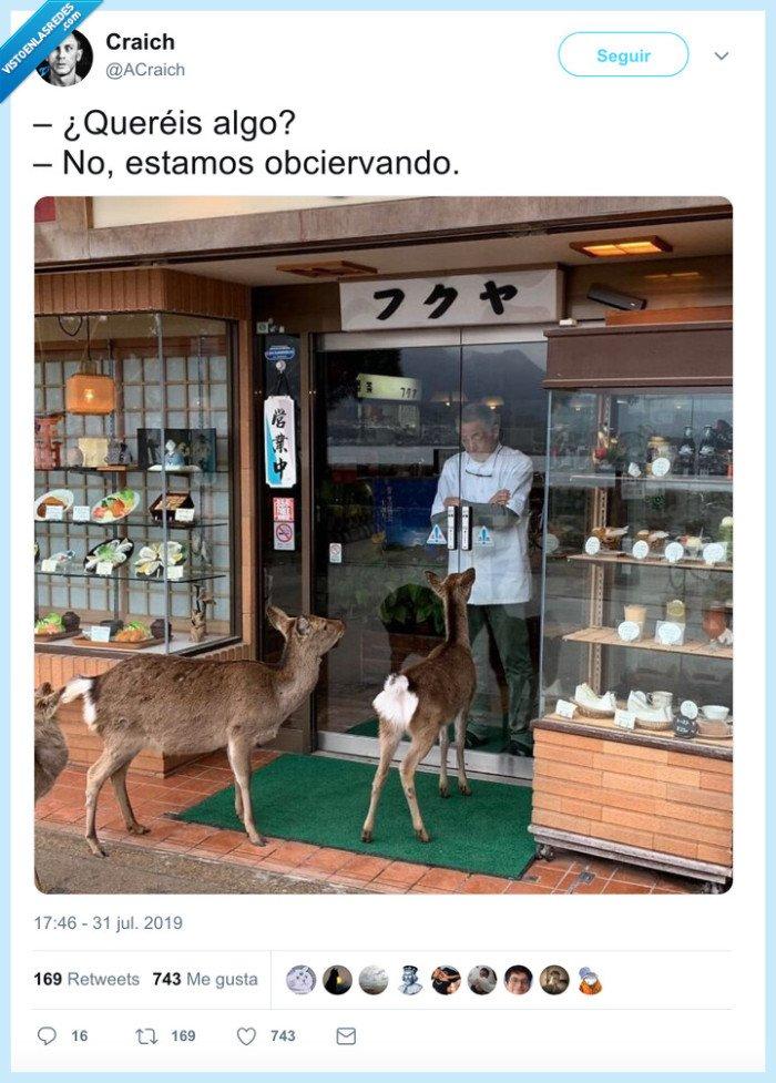 ciervo,observar,tienda