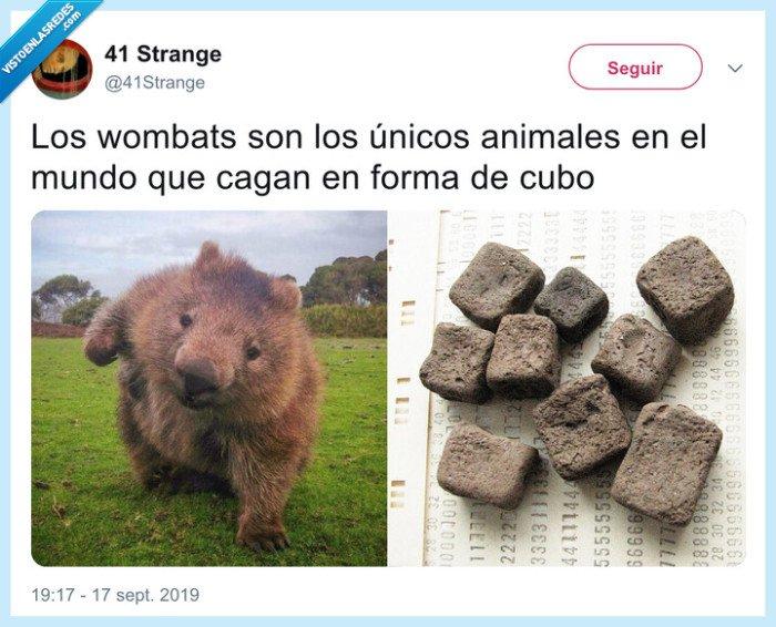 caca,cúbica,wombats