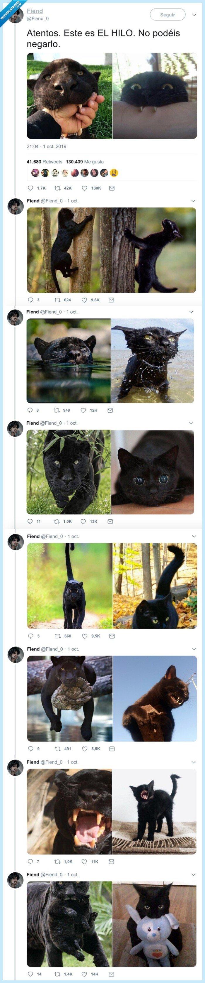 felinos,gato negro,pantera negra