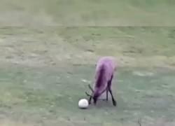 Enlace a Me quedo loco. Un ciervo marcando un gol y celebrándolo
