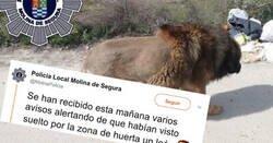 Enlace a Alertan de la presencia de un león suelto por Murcia, y al final, tras pasarle el lector de microchip... ¡oh sorpresa!