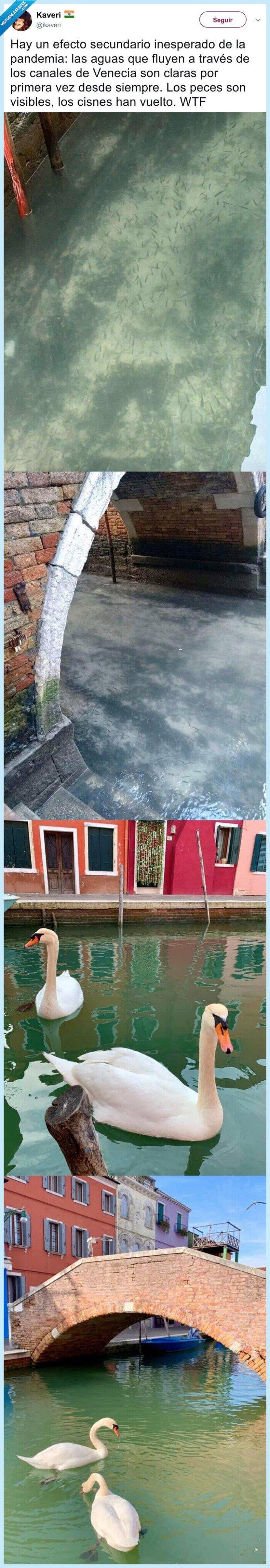 agua,canales,coronavirus,extinguirse,fauna,venecia