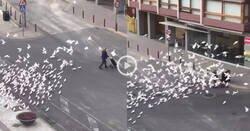Enlace a Palomas asesinas campan por las calles agresivas debido al confinamiento de la población