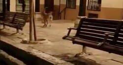 Enlace a Las cabras bajan a las calles vacías en un pueblo de Albacete