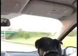 Enlace a Este perro agacha la cabeza cuando pasa por debajo de un puente