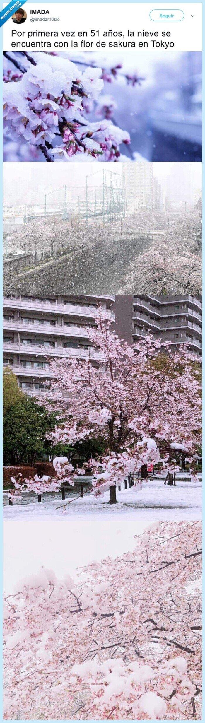 flor de cerezo,japón,nieve,sakura