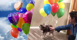 Enlace a Hacen volar a su perro durante el confinamiento al más puro estilo Up