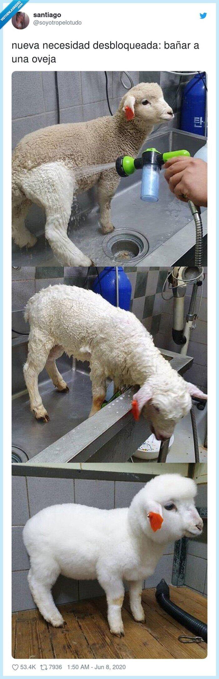 bañar,limpiar,oveja
