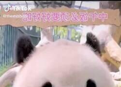 Enlace a Ver comer a este panda me produce una paz infinita, por @LalaChus3