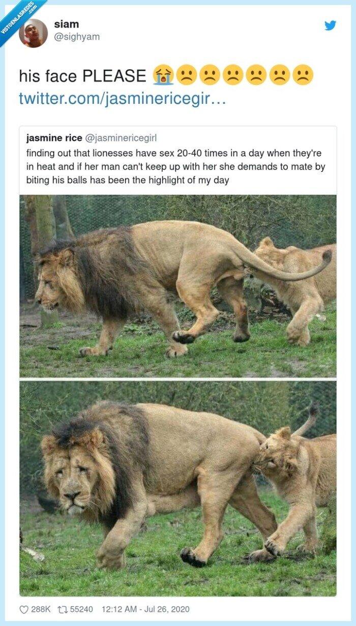 cara,dolor,león,leona,mordida,partes,reacción,triste