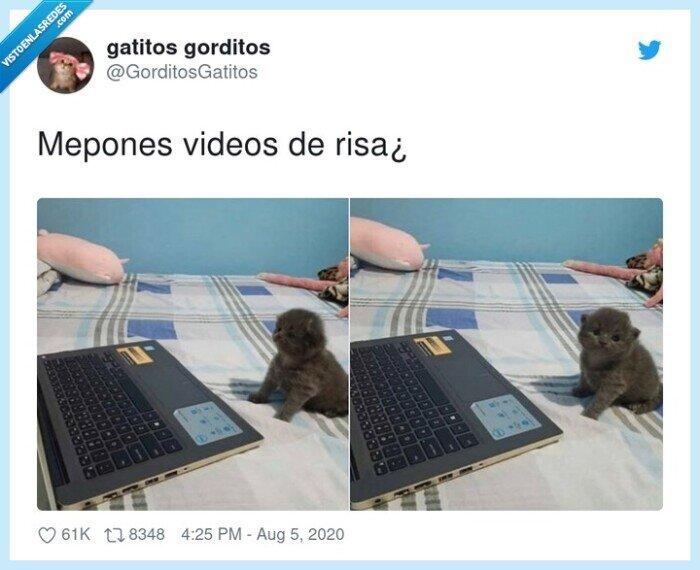 gatos,risa,vídeos