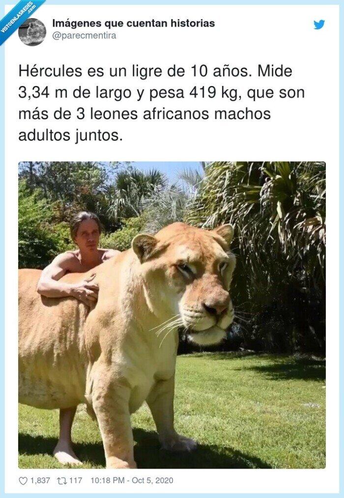 adultos,africanos,hércules,leones,ligres,machos