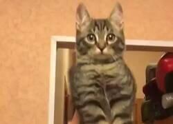 Enlace a Os presentamos al gatobúho , por @GorditosGatitos
