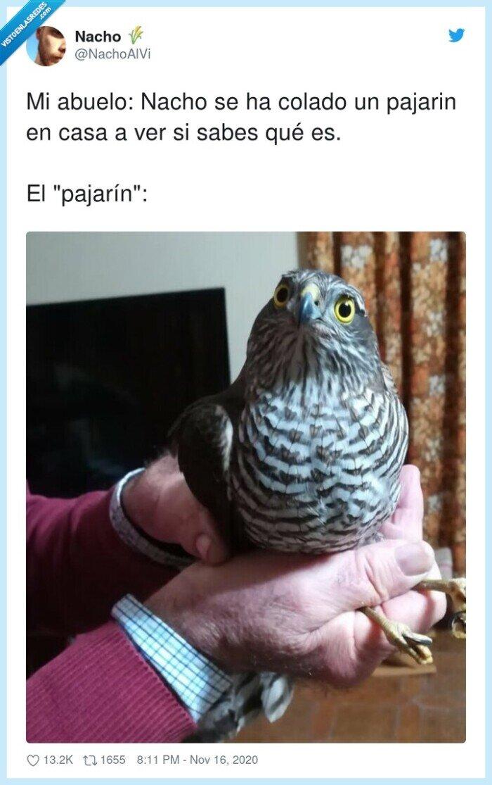 abuelo,colado,pajarín,pájaro