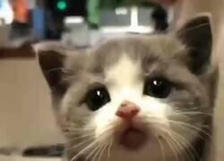Enlace a Ahora yo también quiero un gatito de bolsillo, por @GorditosGatitos