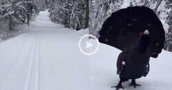 Enlace a Un esquiador se cruza con un urogallo y el ave le hace entender que no es bienvenido, por @Benasque_