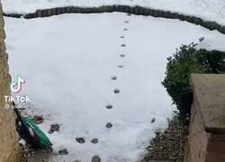 Enlace a Este gato repite las mismas pisadas que hizo en la nieve una y otra vez