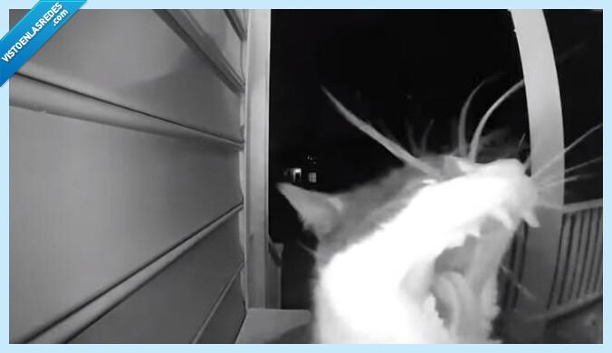 810848 - Este gato aprende a llamar al timbre para que le abran la puerta de su casa y entre tal cual