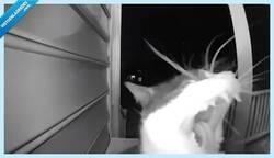 Enlace a Este gato aprende a llamar al timbre para que le abran la puerta de su casa y entre tal cual