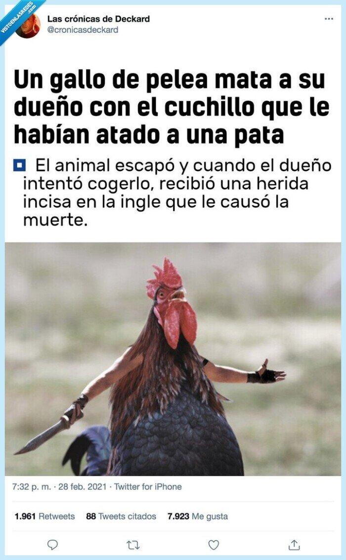 cuchillo,gallo,matar,pelea