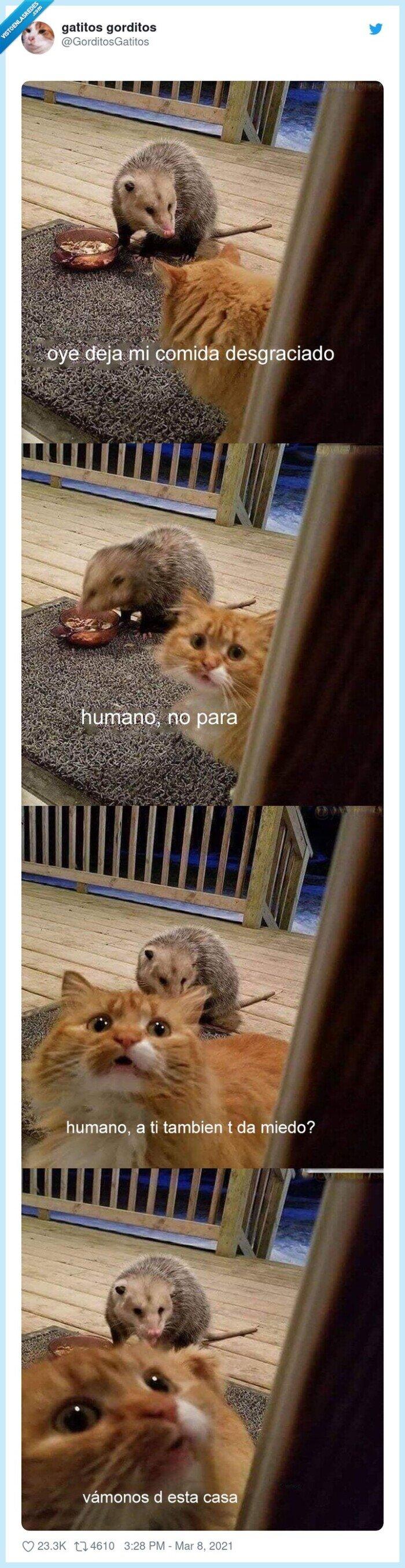 asustado,gato,pijo,zarigüeya