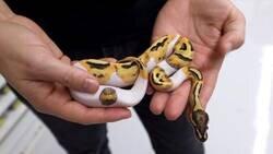 Enlace a Vende una serpiente