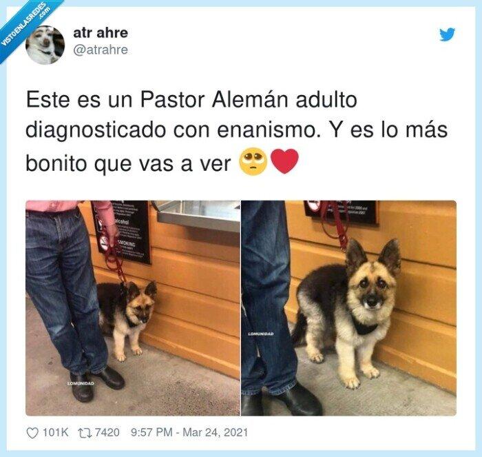 adulto,alemán,enanismo,pastor,perro