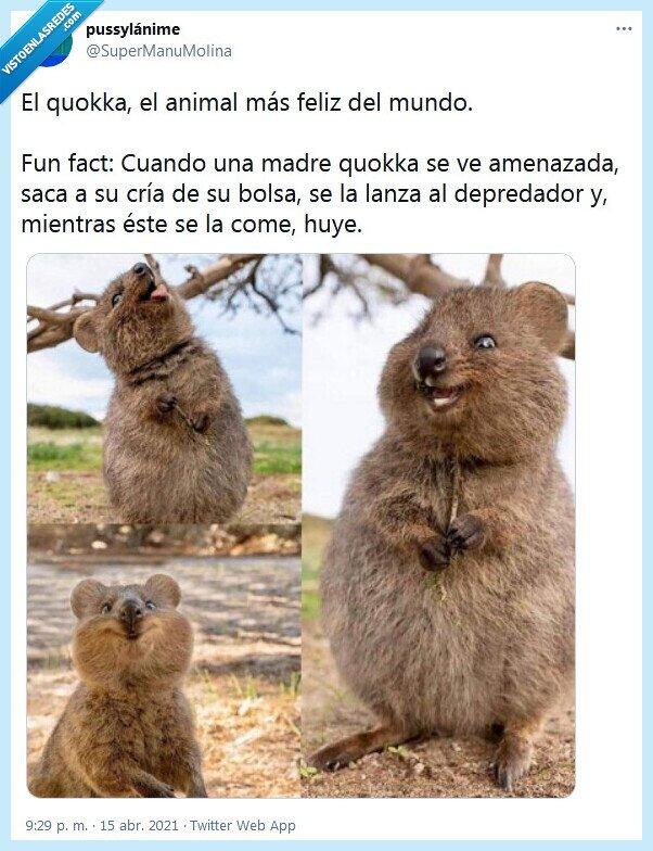animal,feliz,quokka