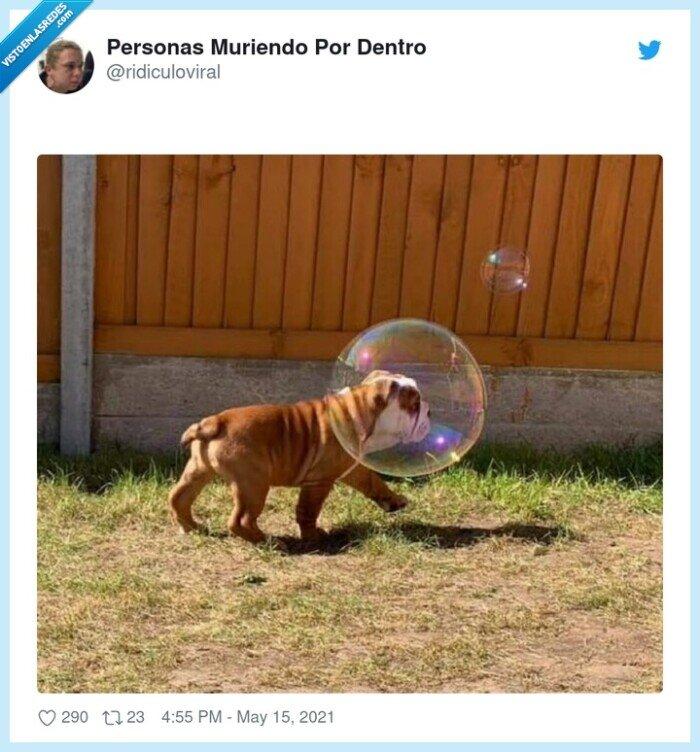 bubble,bulldog,burbuja,perro
