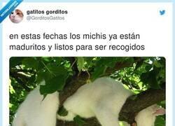 Enlace a Es época de recolectar michis, por @GorditosGatitos