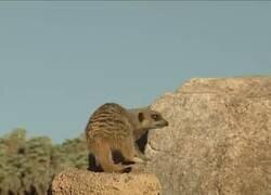 Enlace a La suricata me representa totalmente en cualquier parking, tratando de recordar dónde he aparcado mi coche, por @kikolo777