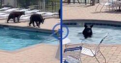 Enlace a Pillan a una familia de osos que se coló en un complejo turístico disfrutando de la piscina