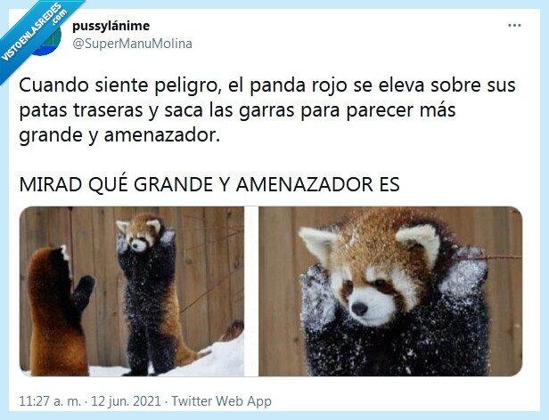 amenazador,grande,panda rojo,peligro