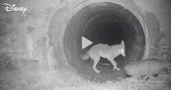 Enlace a Un coyote y un tejón usan una alcantarilla para pasar juntos bajo una concurrida autopista de California. Me encanta cómo el coyote espera al tejón, por @J_Zaragoza_