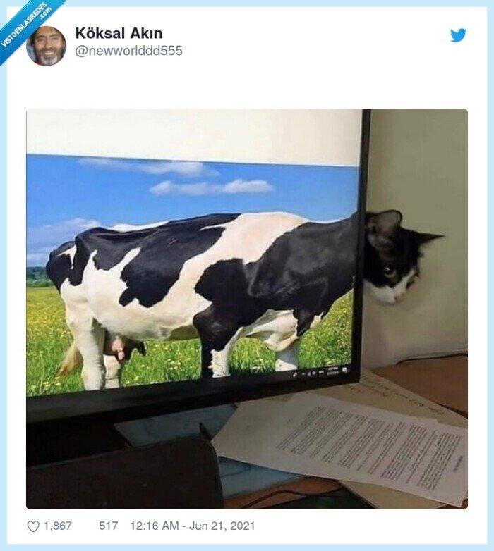 gato,salvapantallas,vaca