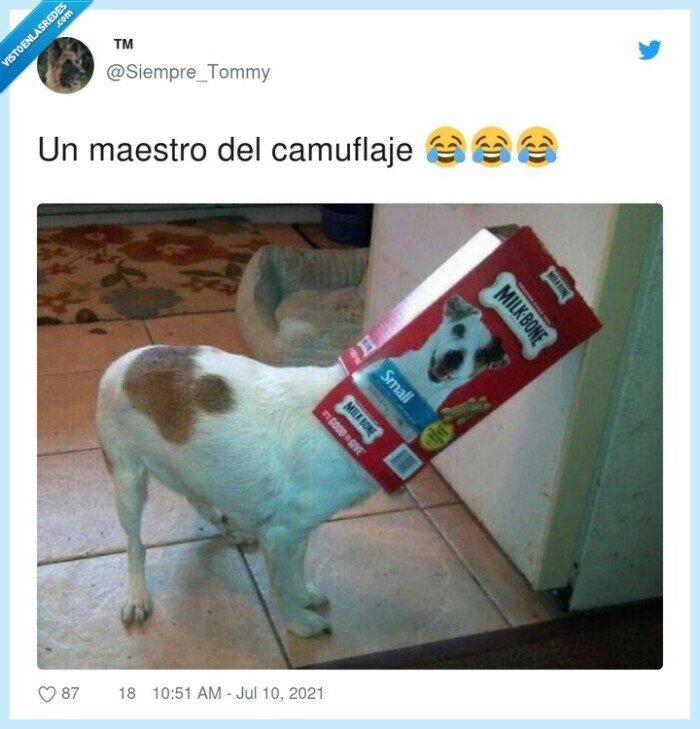 caja,camuflaje,maestro,perro