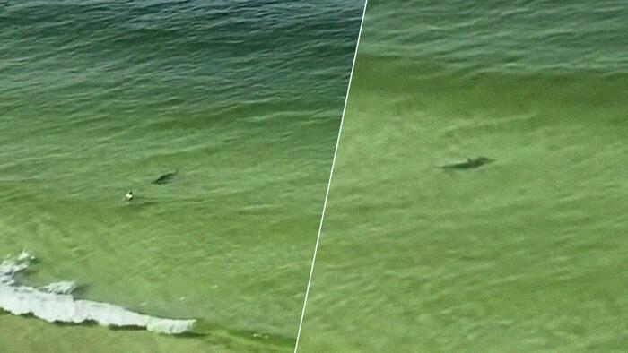 936444 - Un tiburón martillo va como un loco a atacar a este bañista despistado y en el último segundo cambia de opinión