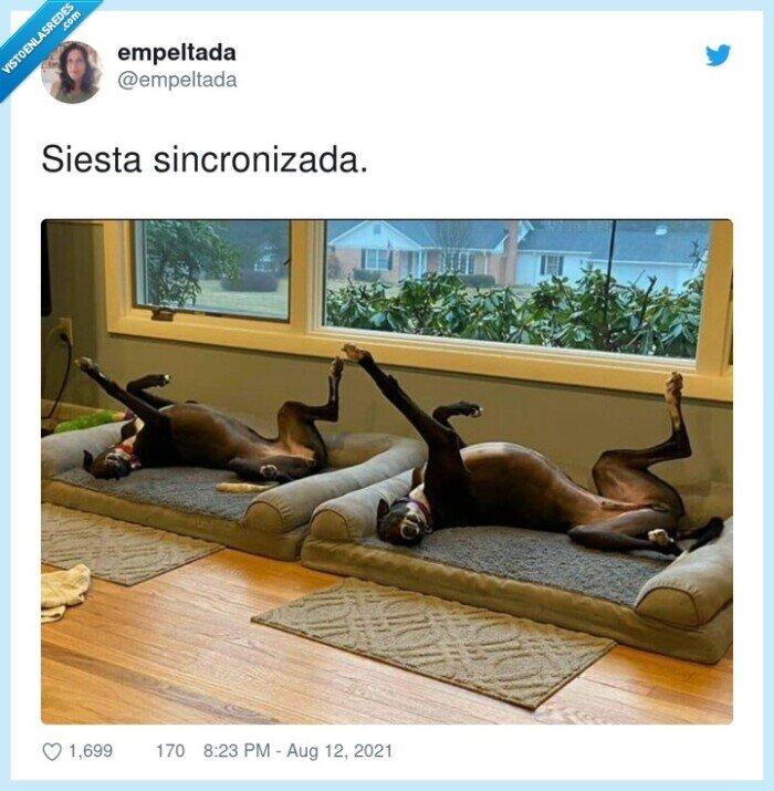 perros,siesta,sincronizada
