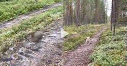 Enlace a Las liebres son mucho más listas de lo que parecen, hacen un doble rastro para engañar a perros cazadores