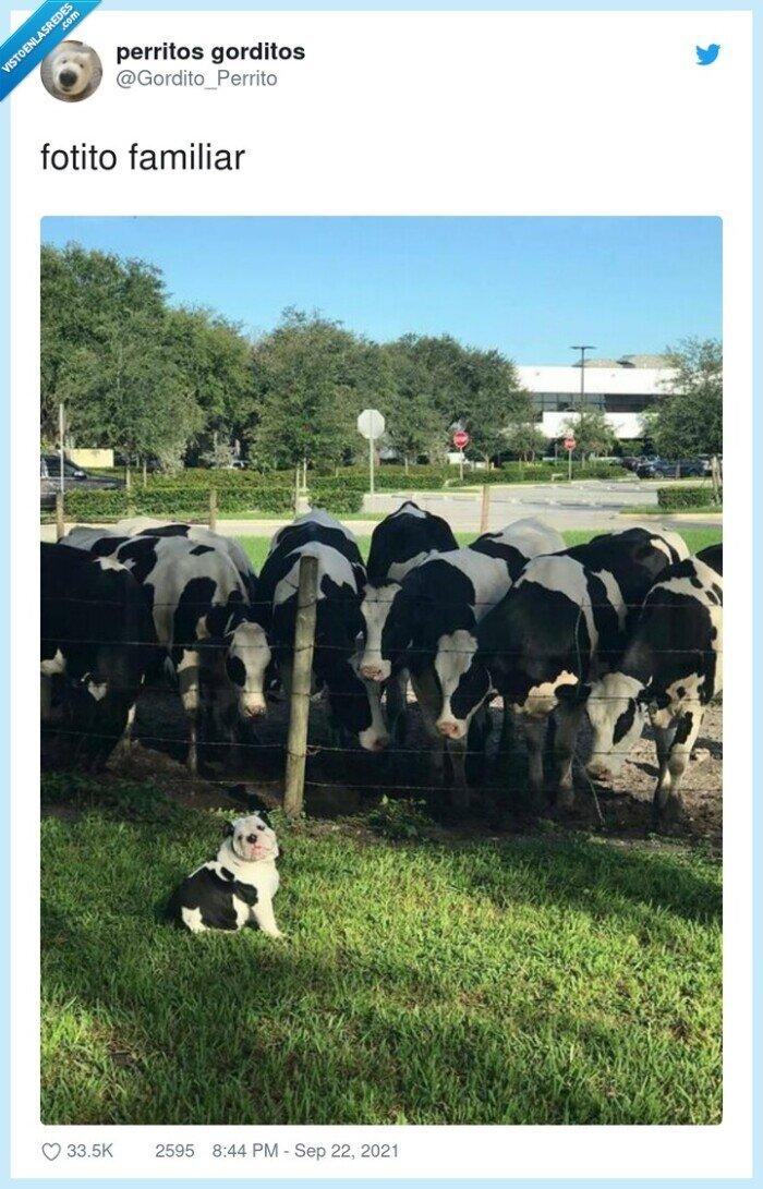 familiar,fotito,perro,vacas