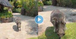 Enlace a Este chaval se cree que Pumba es tan amistoso como se ve en el Rey León, pero ojo cuidao al grito, miedo absoluto