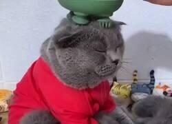Enlace a Ojalá vivir como este gato, por @AnimalNoContext