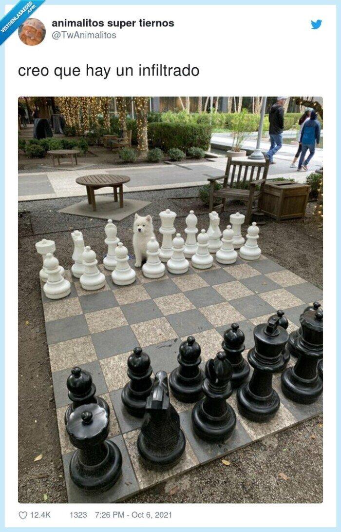 ajedrez,infiltrado,samoyedo